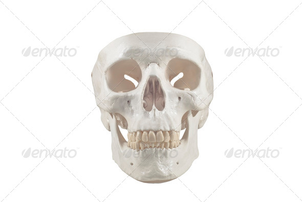 Human skull model,isolated - Stock Photo - Images