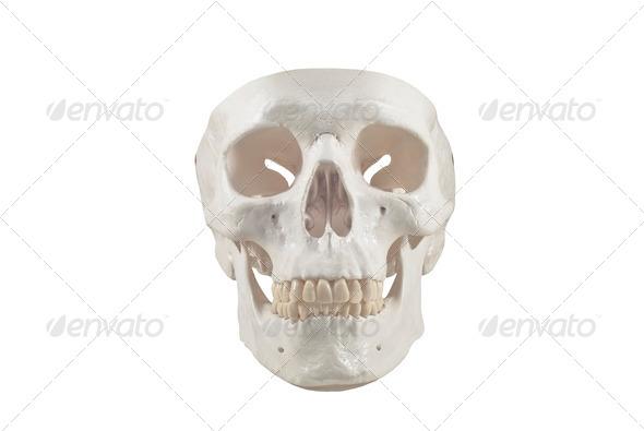 Human skull model,isolated - Stock Photo - Images