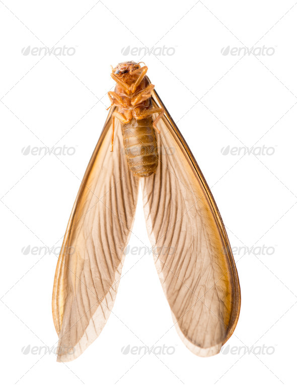 termite white ant - Stock Photo - Images