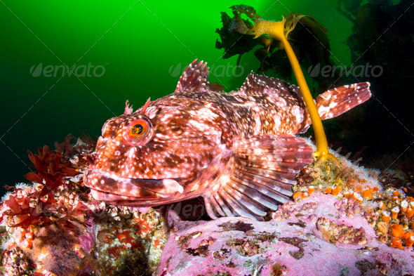 Cabezon Fish - Stock Photo - Images