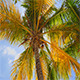 Looking Up Into A Coconut Tree - VideoHive Item for Sale