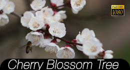 Cherry Blossom Tree Collection
