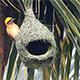 Baya Weaver Nesting - VideoHive Item for Sale