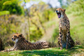 Two african cheetahs relaxing in the grass - PhotoDune Item for Sale