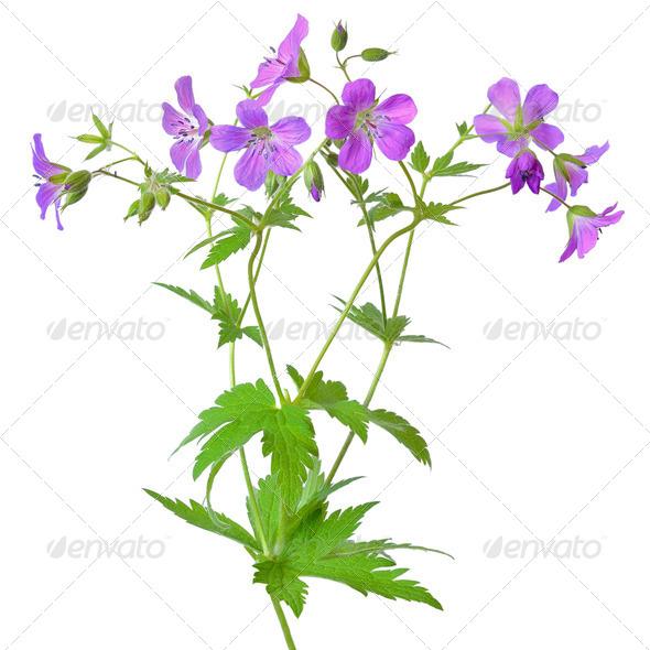 Meadow geranium (Geranium pratense) flower - Stock Photo - Images