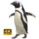Penguin (African) - Walking/Sliding - VideoHive Item for Sale