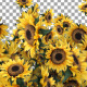 Sunflower Transition - VideoHive Item for Sale