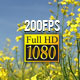 Rapeseed 04 - VideoHive Item for Sale