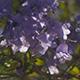 Jacaranda Tree Sun Pierce - VideoHive Item for Sale