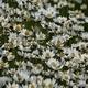 Daisies (Leucanthemum Maximum) 1 - VideoHive Item for Sale