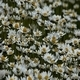 Daisies (Leucanthemum Maximum) 2 - VideoHive Item for Sale