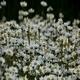 Daisies (Leucanthemum Maximum) 3 - VideoHive Item for Sale