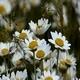 Daisies (Leucanthemum Maximum) 4 - VideoHive Item for Sale
