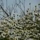 Daisies (Leucanthemum Maximum) 5 - VideoHive Item for Sale