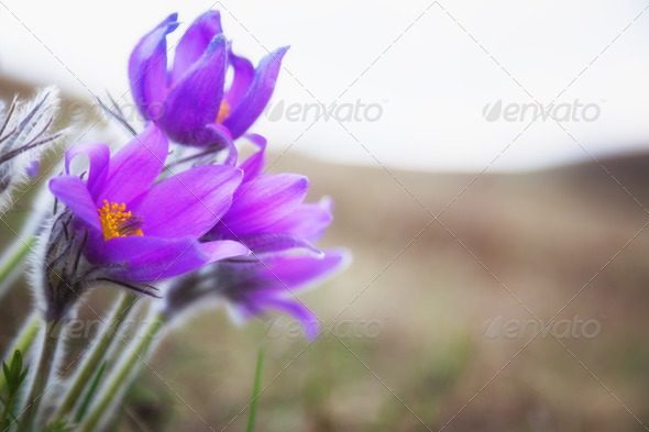 Purple flowers, dream herb - Stock Photo - Images