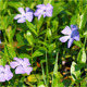 Periwinkle Flowers - VideoHive Item for Sale