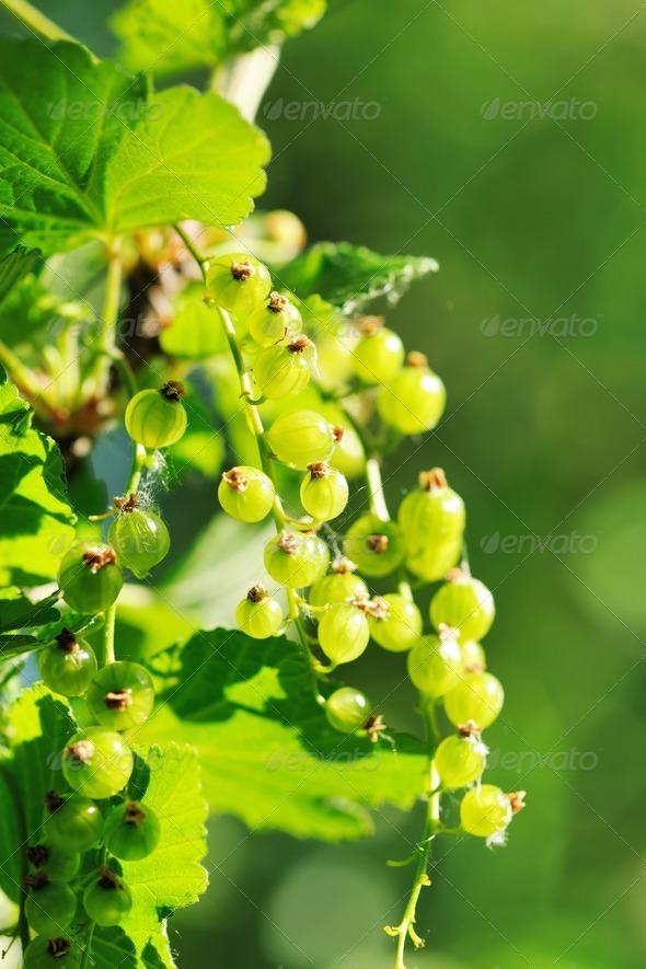 Currant - Stock Photo - Images