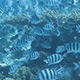 Fish Flock - VideoHive Item for Sale