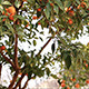 Spanish Orange Trees In Barcelona - VideoHive Item for Sale