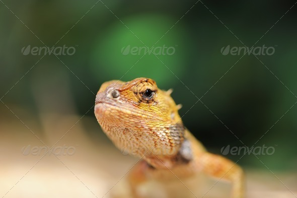 Wild lizard - Stock Photo - Images