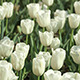 White Tulips - VideoHive Item for Sale