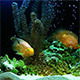 Air Bubbles are in the Aquarium - VideoHive Item for Sale