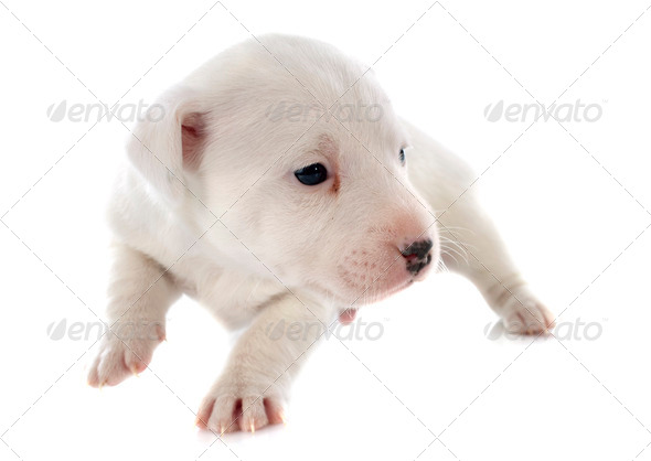 puppy jack russel terrier - Stock Photo - Images