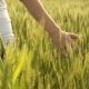 Girl Hand On Wheat Field - VideoHive Item for Sale