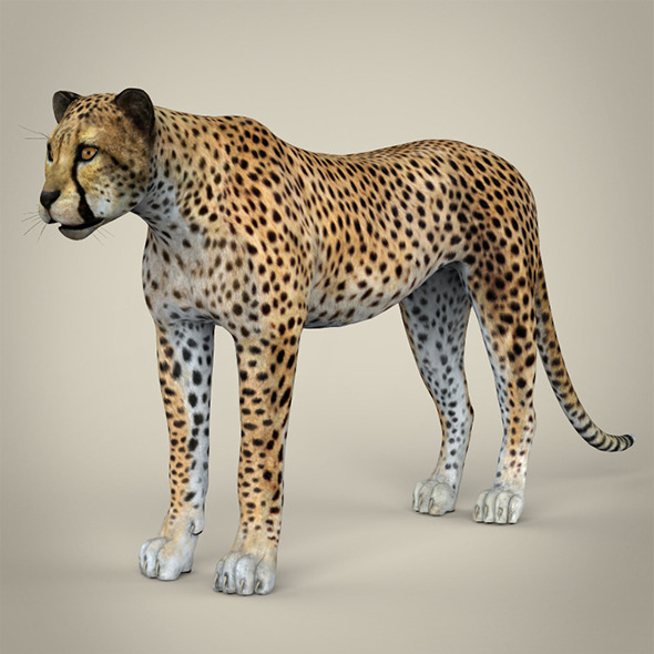 Realistic Cheetah - 3DOcean Item for Sale