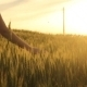 Girl Walking Through Wheat Field 4 - VideoHive Item for Sale