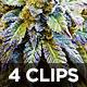 Flowering Marijuana Plants Closeup 4 Pack - VideoHive Item for Sale