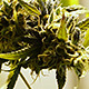 Flowering Marijuana Buds Rack Focus - VideoHive Item for Sale