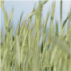 Green Wheat in the Wind - VideoHive Item for Sale