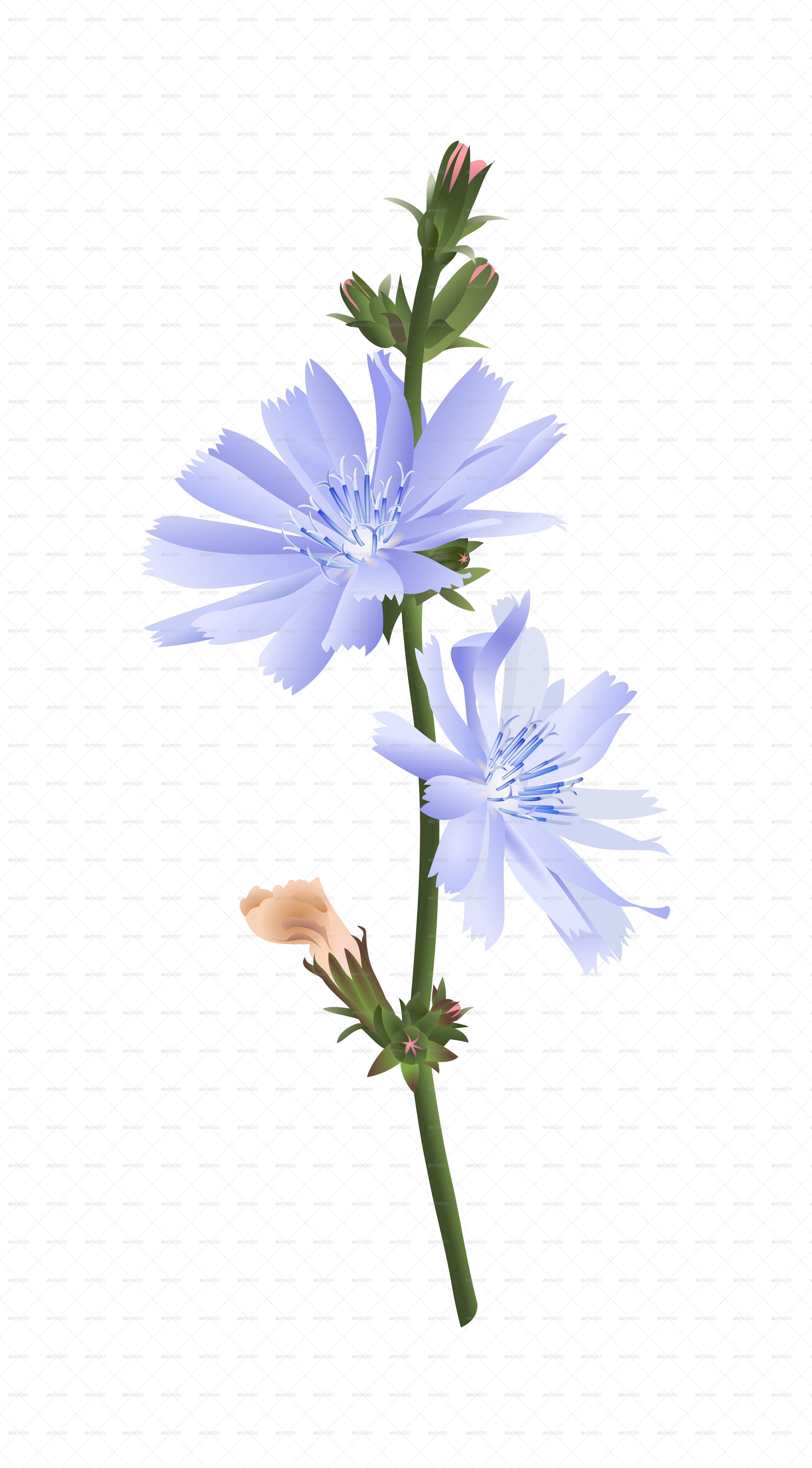 chicory flower by celana