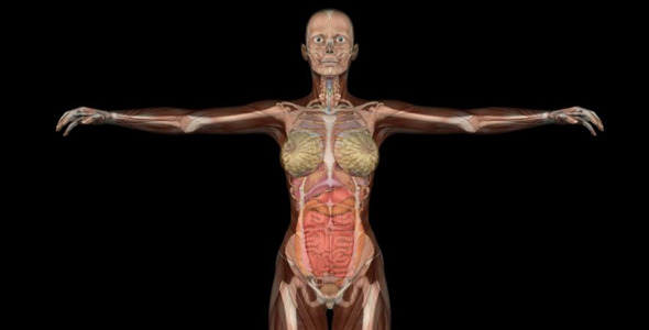 Female Body Anatomy by VideoMagus | VideoHive