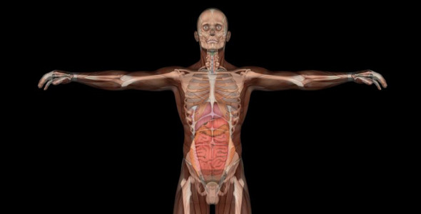 Male Body Anatomy By Videomagus Videohive