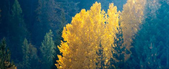 Golden birch 590x242