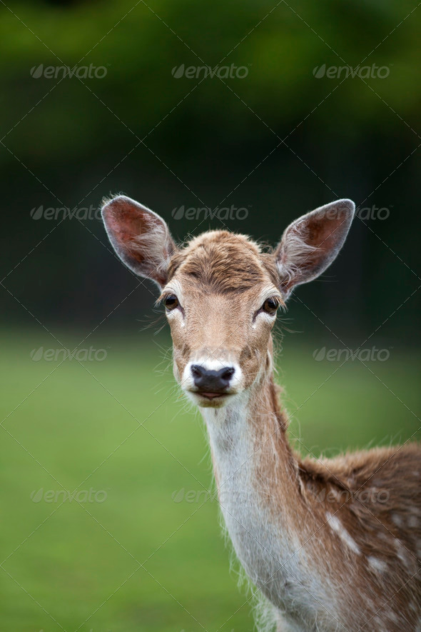 White Tailed Deer - Stock Photo - Images