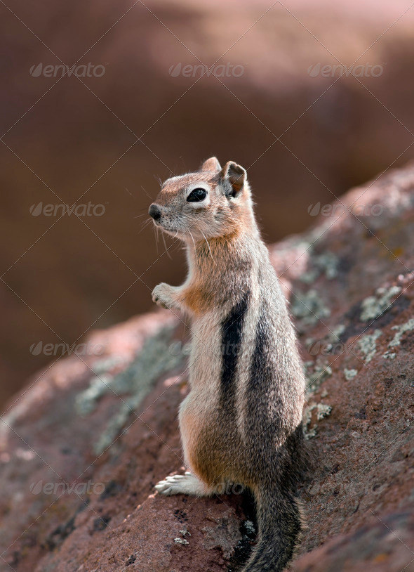 Chipmunk - Stock Photo - Images