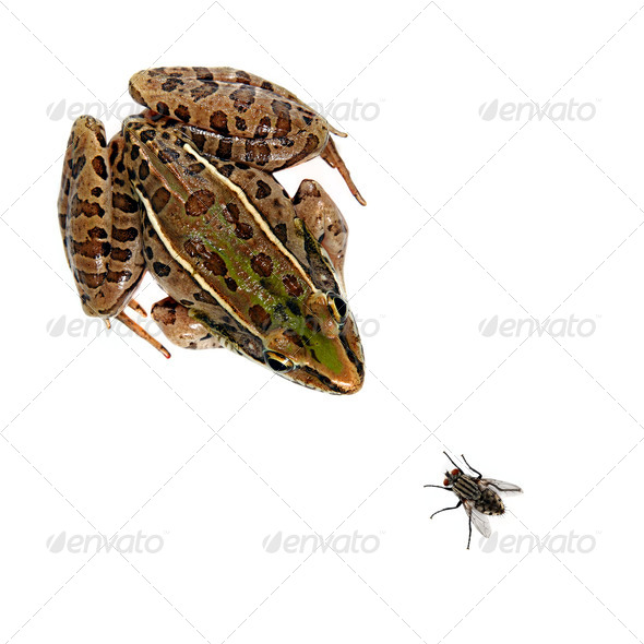 Leopard Frog and Fly - Stock Photo - Images