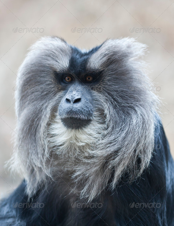 Lion Tailed Macaque - Stock Photo - Images