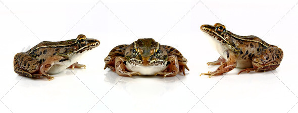 Leopard Frogs - Stock Photo - Images