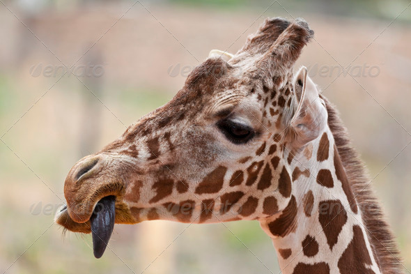 Giraffe with tongue out - Stock Photo - Images