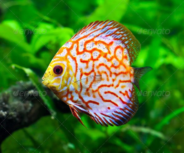 Pigeon Blood Discus Fish - Stock Photo - Images