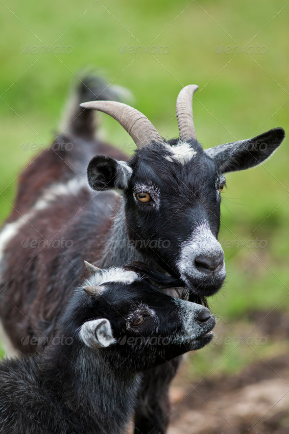 Young Goat with Mother - Stock Photo - Images