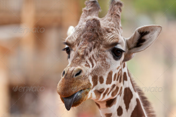 Giraffe Sticking Out Tongue - Stock Photo - Images