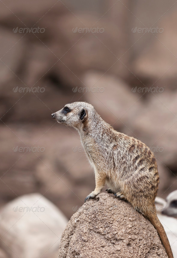 Meerkat - Stock Photo - Images