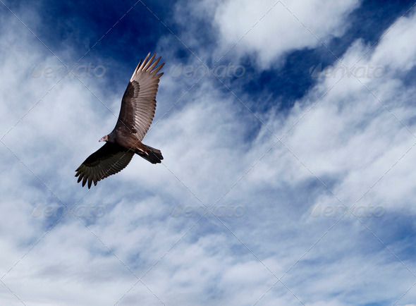 Vulture in Flight - Stock Photo - Images