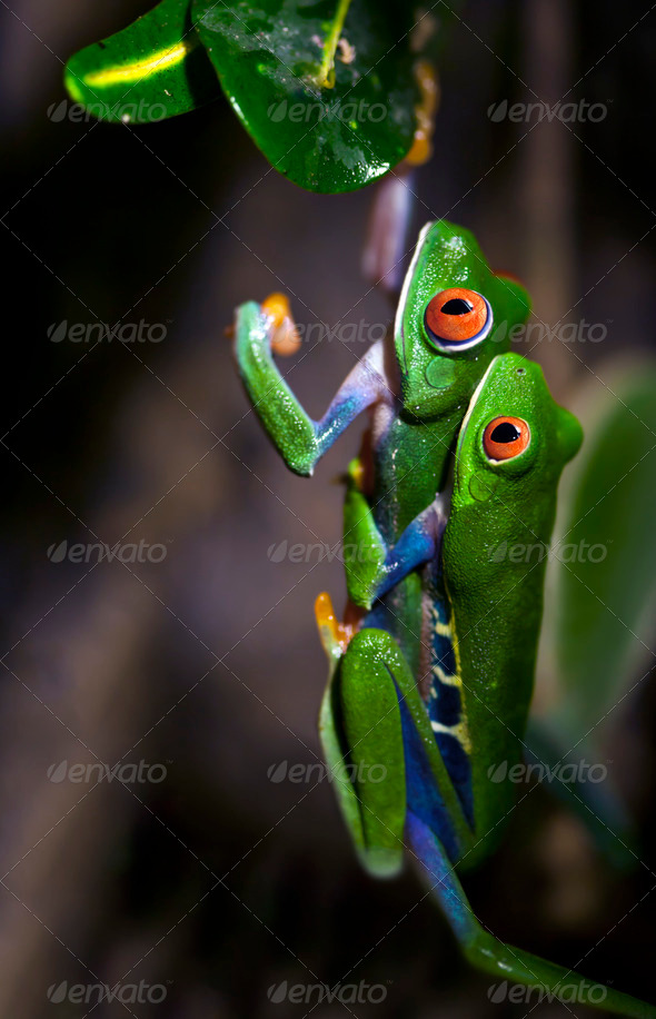Mating Frogs - Stock Photo - Images