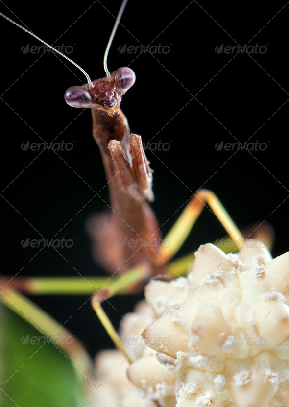 Praying Mantis - Stock Photo - Images